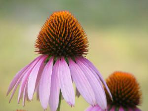 Echinacea purpurea -- coneflower