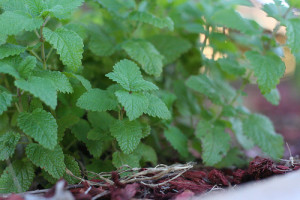 Growing Herbs That Heal